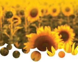 Торене - слънчоглед