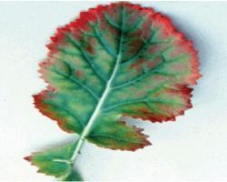 Пурпурно оцветяване на листната периферия при дефицит на сяра