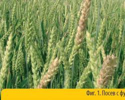 ВОМИТОКСИНЪТ – опасен микотоксин в пшеницата