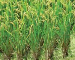 Светът на ориза